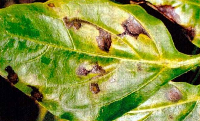Бактериальная пятнистость перца - Xanthomonas vesicatoria