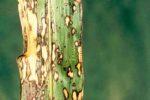 Бактериальная пятнистость сорго