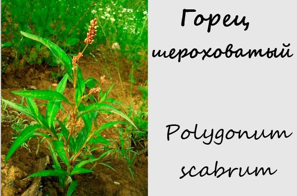 Горец шероховатый — Polygonum scabrum