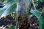 Полосатая пятнистость сорго - Pseudomonas andropogoni