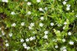 Звездачатка злаковидная - Stellaria graminea