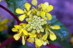 Горчица полевая — Sinapis arvensis