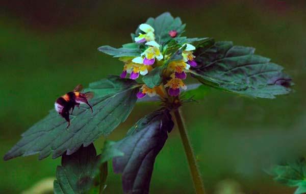Пикульник красивый, зябра — Galeopsis speciosa
