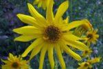 Подсолнечник сорный (сорно-полевой) — Helianthus lenticularis