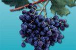 Сорт винограда Гузаль кара