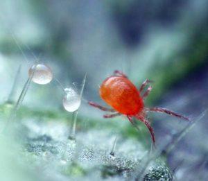 Самка фитосейулюса (Phytoseiulus persimilis) откладывает яйца