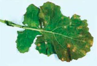 Фомоз рапса (пораженный лист)
