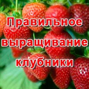 Правильное выращивание клубники