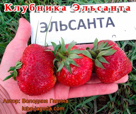 http://agroflora.ru/wp-content/uploads/2015/04/klubnika-Jelsanta.jpg