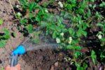 Полив клубники садовой лейкой