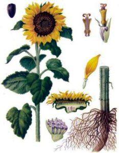 Ботаническая характеристика подсолнечника