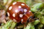 Кальвия 14-ти точечная - Calvia quatuordecimguttata