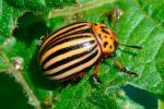 Колорадский жук – Leptinotarsa Decemlineata