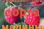 Ремонтантные сорта малины