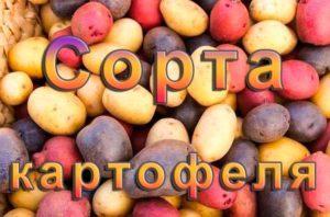 Сорта картофеля описание и фото