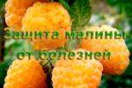 Защита малины от болезней