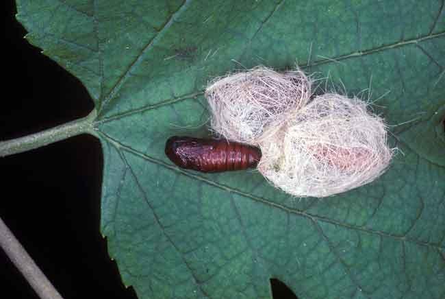 Куколка американской белой бабочки - Hyphantria cunea