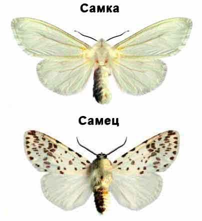 Американская белая бабочка - Hyphantria cunea