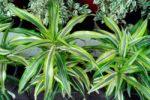 Драцена деремская − Dracaena deremensis