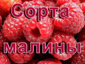 Сорта малины