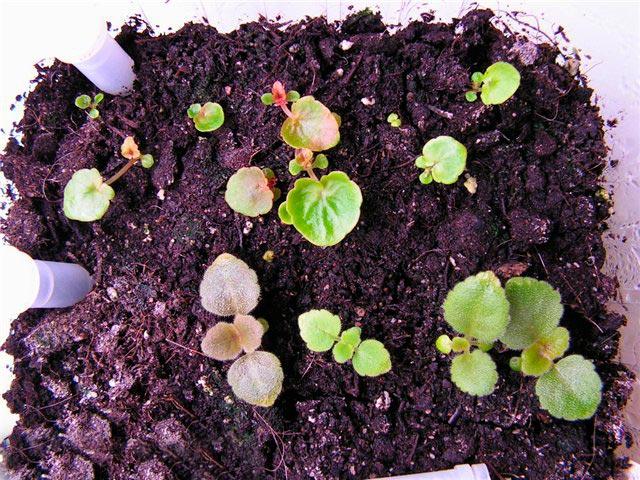 Размножение бегонии семенами