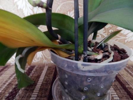 Больной лист орхидеи, - необходимо удалить