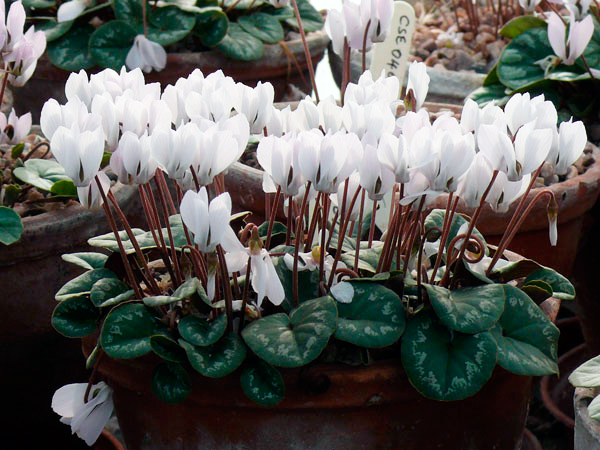 Цикламен Интаминатум — Cyclamen intaminatum