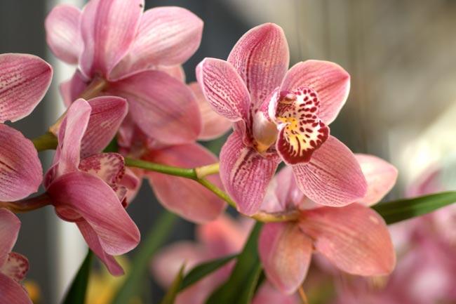 Орхидея Цимбидиум – Cymbidium