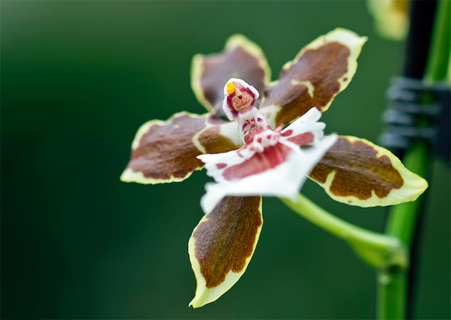 Орхидея Камбрия - Cambria
