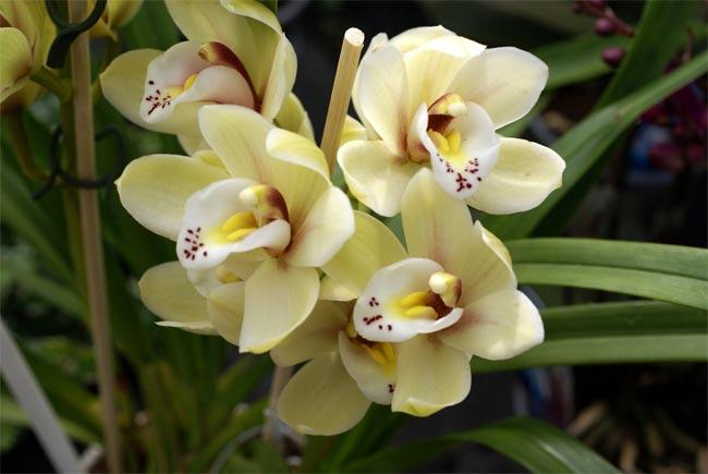 Орхидея Каттлея - Cattleya