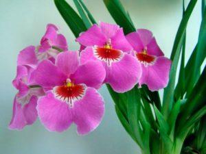 Орхидея Мильтония - Miltonia
