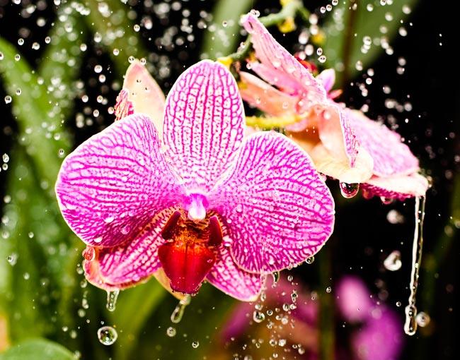 фаленопсис уход в домашних условиях если отцвела орхидея