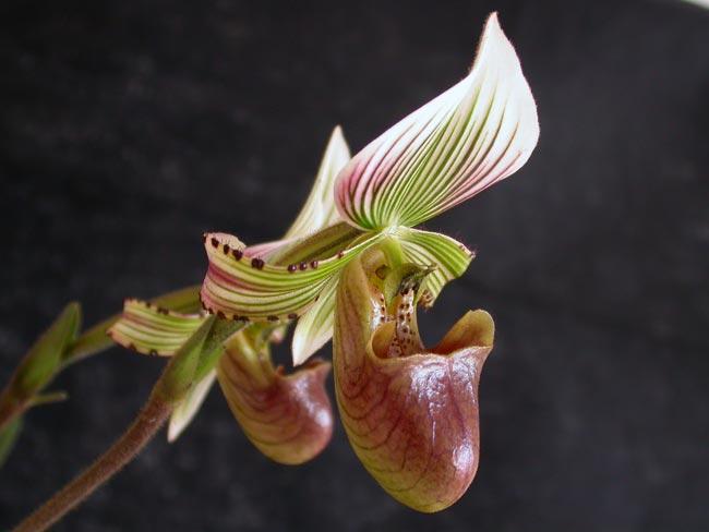 Орхидея Пафиопедилум или венерин башмачок – Paphiopedilum