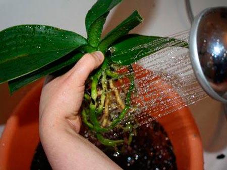 Промывание корней орхидеи при пересадке