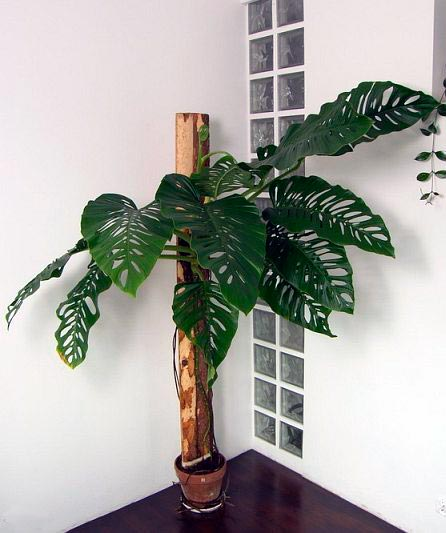 Монстера Адансона – Monstera adansonii