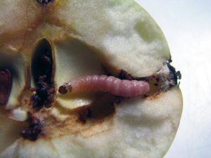 Личинка яблонной плодожорки