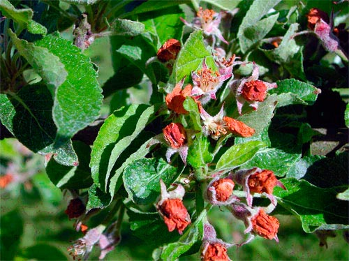 Поврежденные бутонны яблонным цветоедом