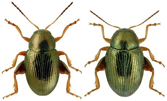 Южная свекловичная блошка Chaetocnema breviuscula