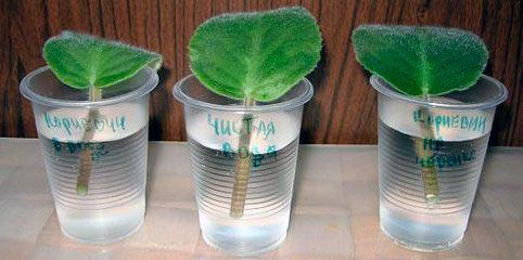 Размножение фиалки листом в емкости с водой
