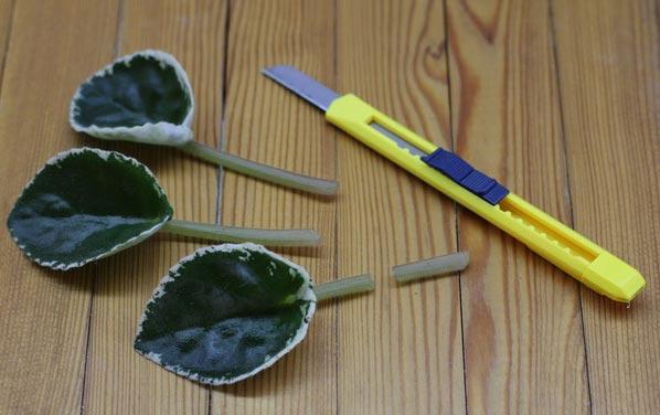 Подготовка листьев фиалки к размножению