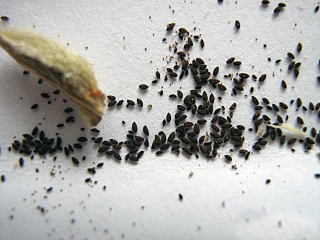 Семена фиалки