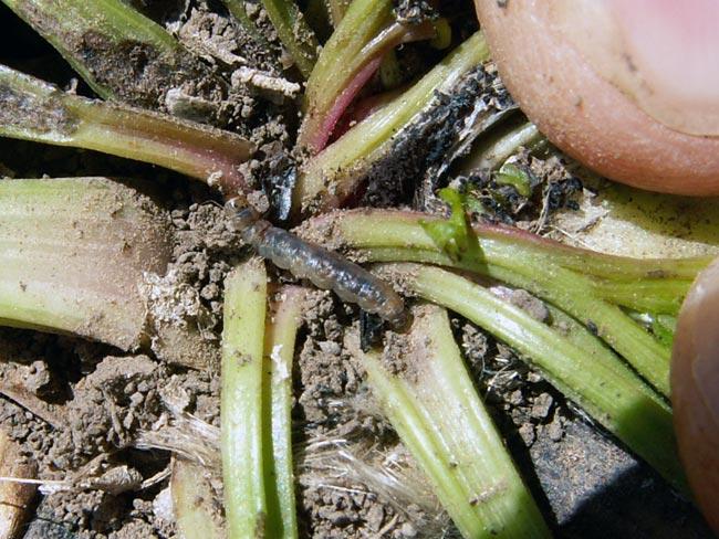 Личинка свекловичной минирующой моли