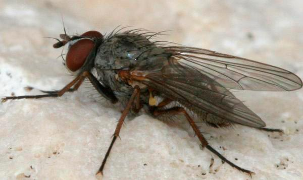 Свекловичная муха – Pegomyia hyoscyami