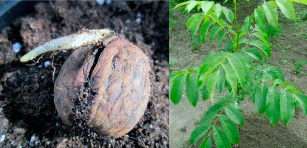 Выращивание грецкого ореха из плодов