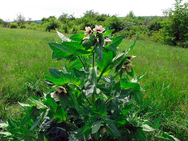 Белена чёрная - Hyoscyamus niger