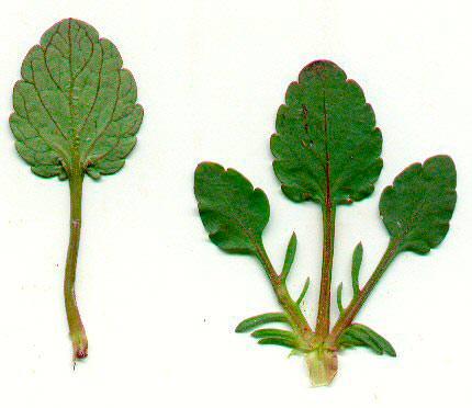 Фиалка полевая - Viola arvensis