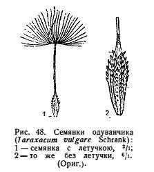 Семянки одуванчика - Taraxacum officinale