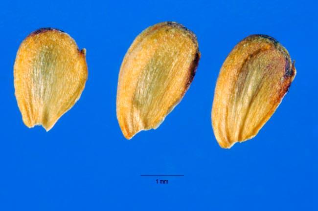Частуха подорожниковая - семена (лат. Alisma plantago-aquatica)