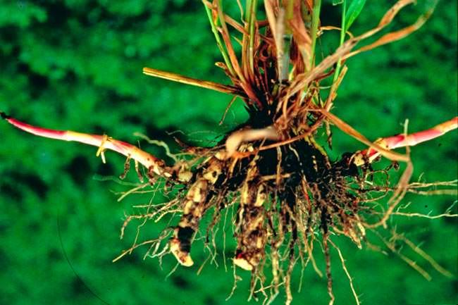 Гумай корневая система (лат. Sorghum halepense)