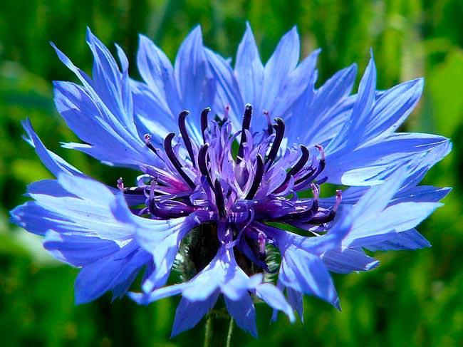 Василёк синий (лат. Centaurea cyanus)